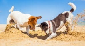 2 Dogs Playing on Beach