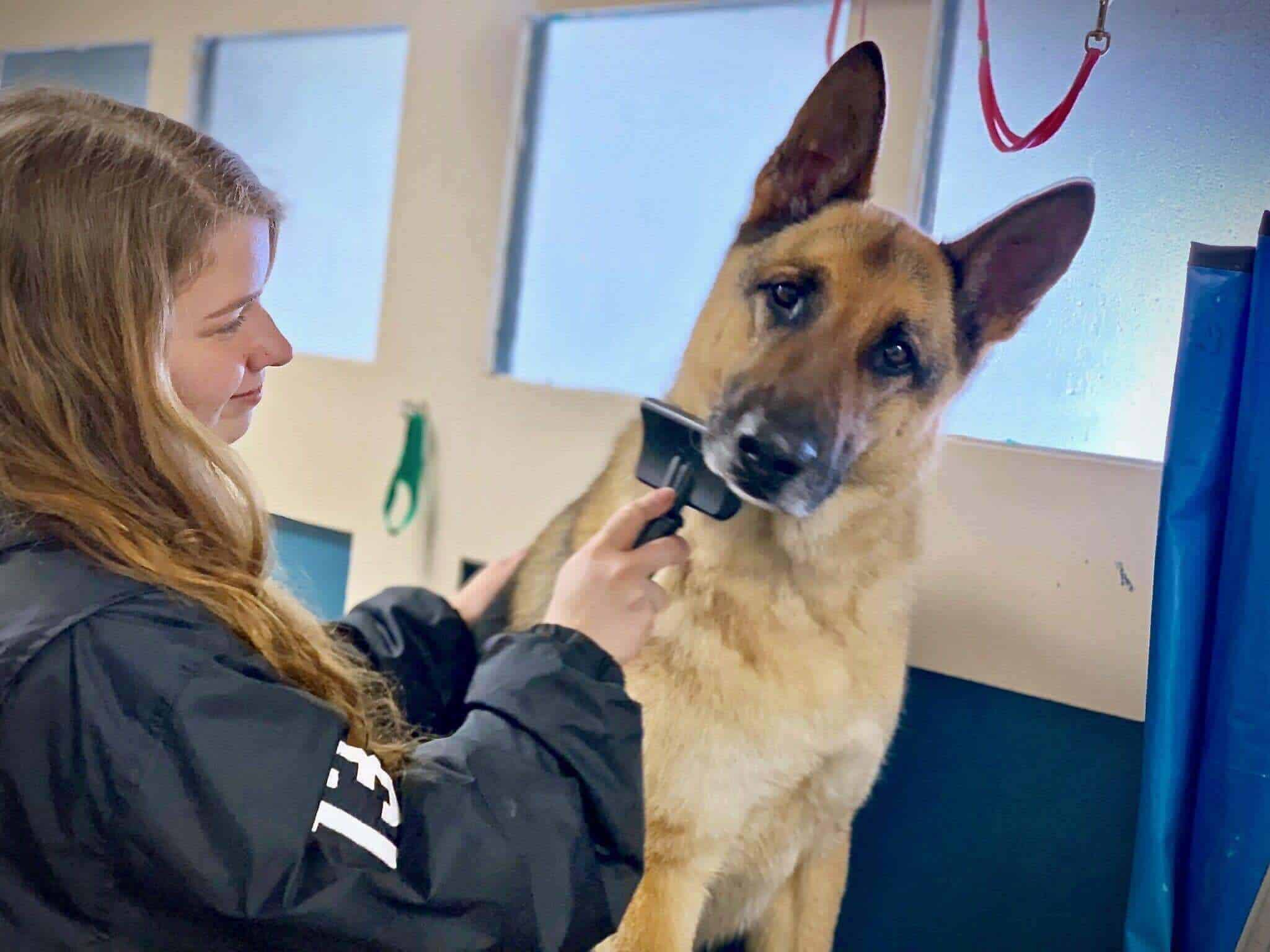 Kennel assistant Kimberly brushing a German Shepherd after a bath