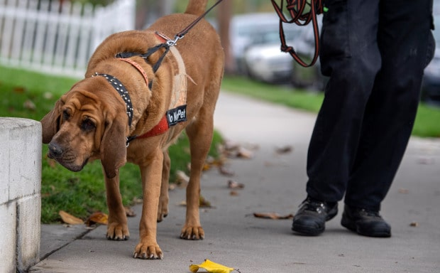 Bloodhound Searches for Lost Pets