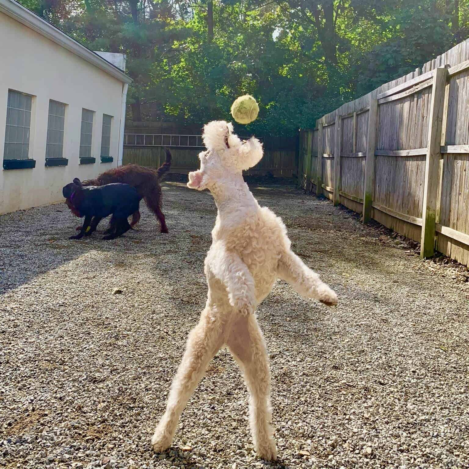 Boarding and dog daycare pups play ball