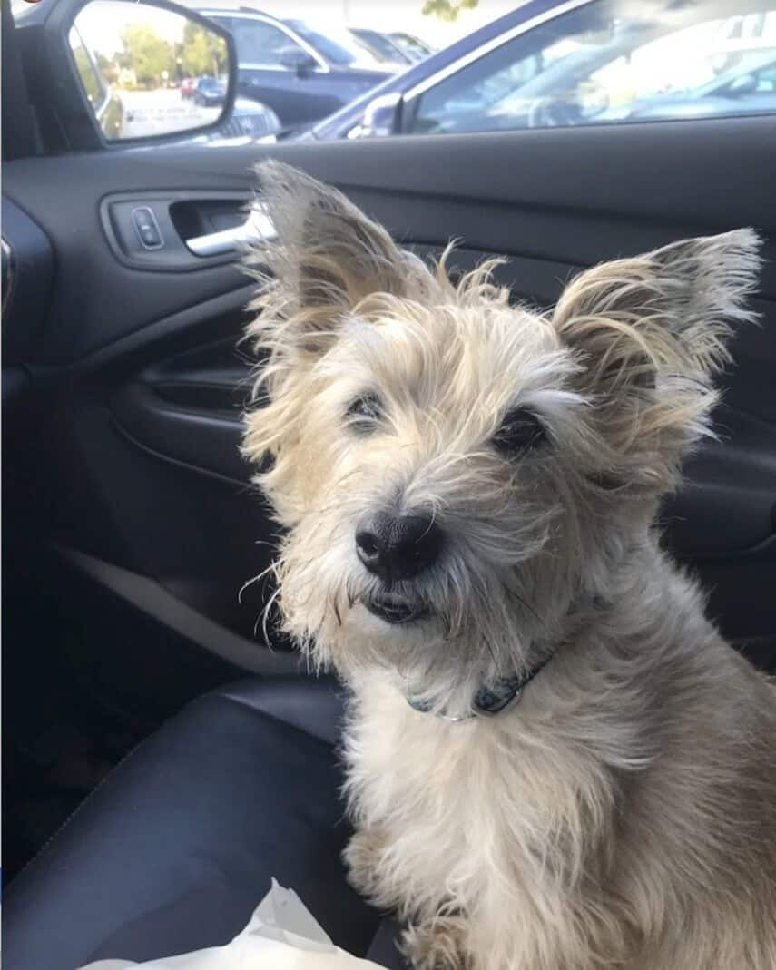 Client Review by Bob Plout — Cairn Terrier Kobe