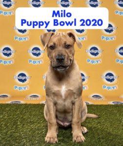 Milo Chelsie's Puppy Bowl Pup